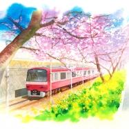 三浦海岸の川津桜